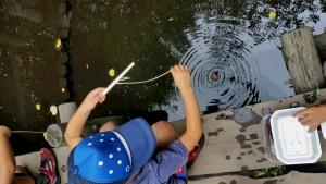 ザリガニ釣り! えさは、さきいかです